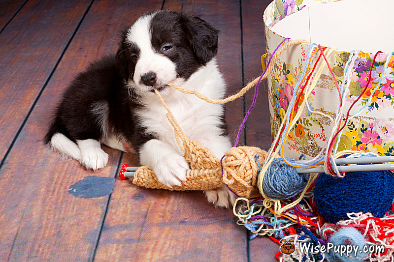 Very young puppy caught on playing with balls of wool