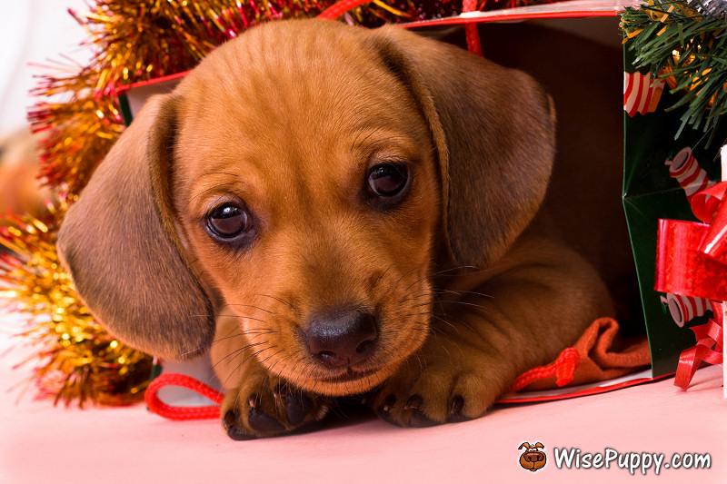 wisepuppy-puppies-04