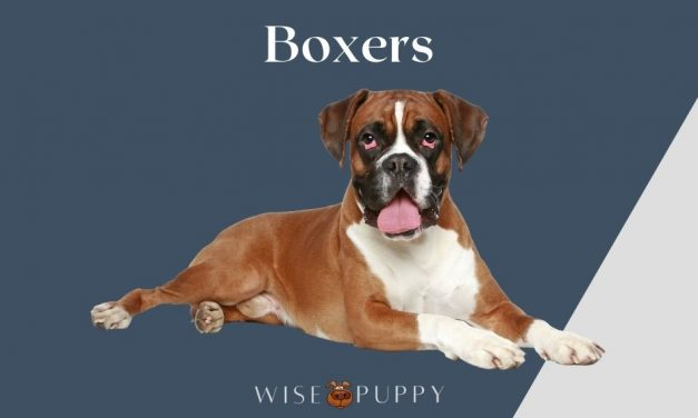 All About Boxers and Why They are Awesome Dogs