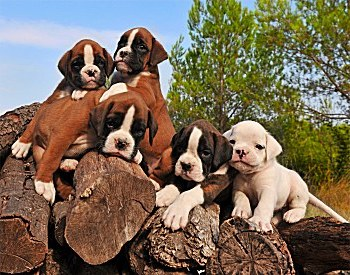 boxer-dogs-001