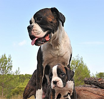 boxer-dogs-wisepuppy-007