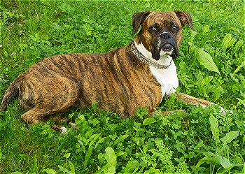 boxer-dogs-wisepuppy-016