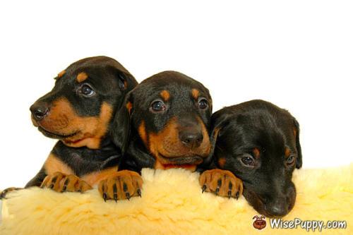 Three sweet puppies.