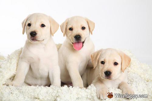 three Labrador puppy on white background