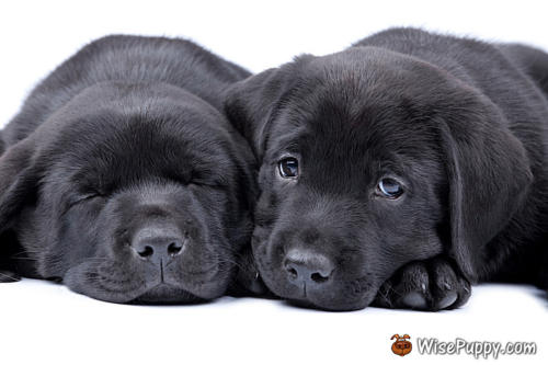 Two puppies black labrador retriever, one sleeps, another looks