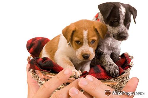 wisepuppy-puppies-10